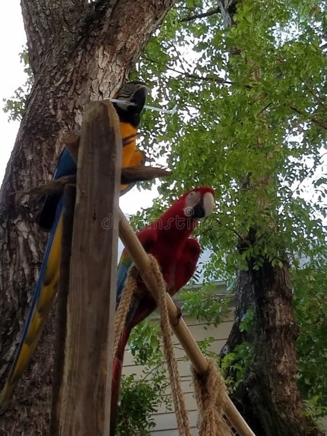 2 perroquets photographie stock libre de droits