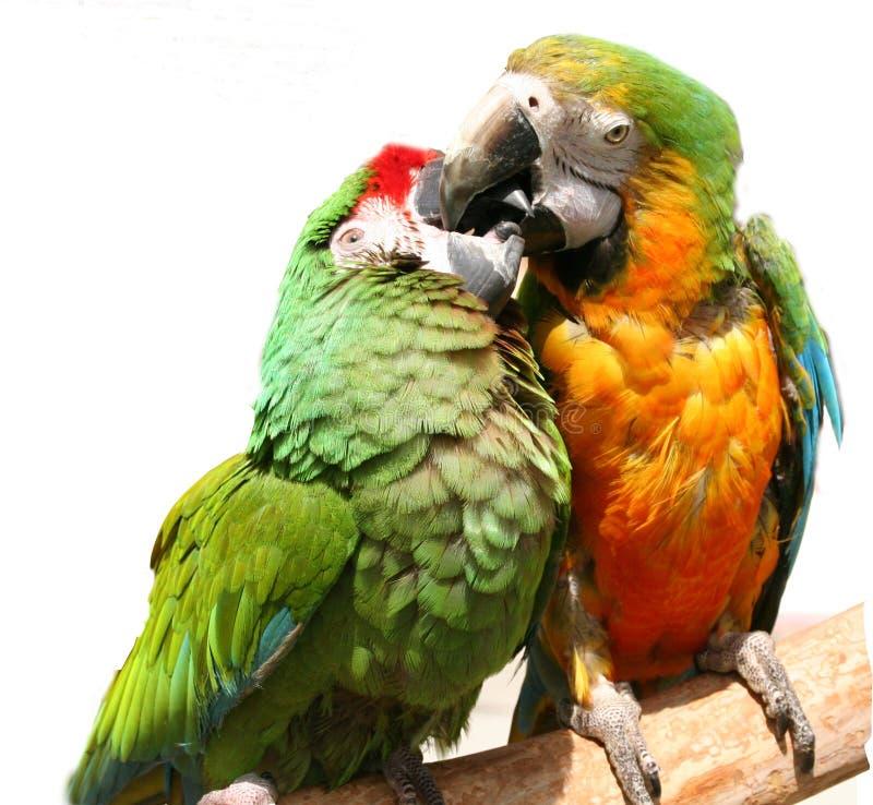 Perroquets amicaux photo stock
