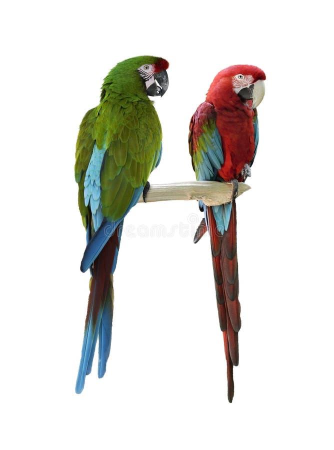 Perroquets colorés d'ara photographie stock libre de droits