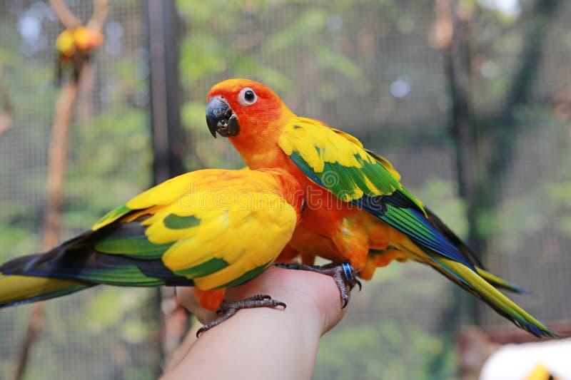 Perroquets colorés de conure du soleil mangeant de la nourriture sur la main de personnes photos libres de droits