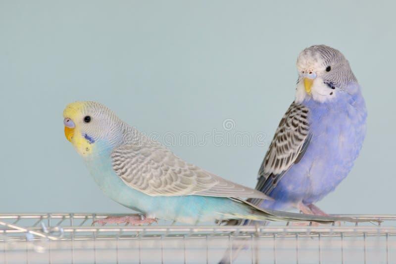Perroquets colorés de perruche photos stock