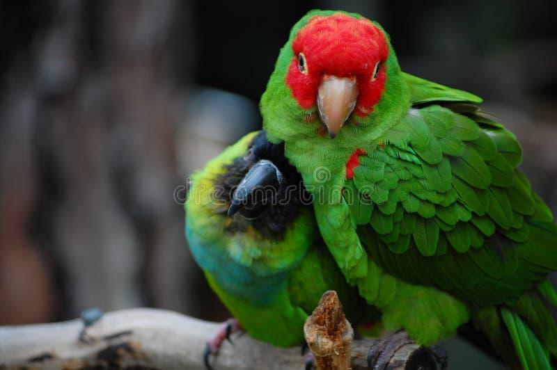 Perroquets d'Amazone caressant image libre de droits