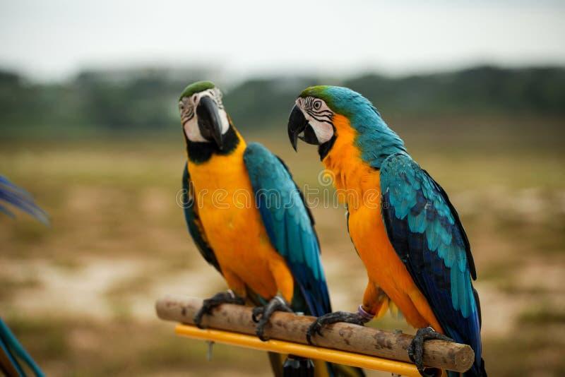 Perroquets d'ara photos libres de droits