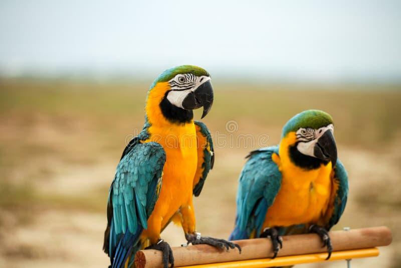 Perroquets d'ara images stock