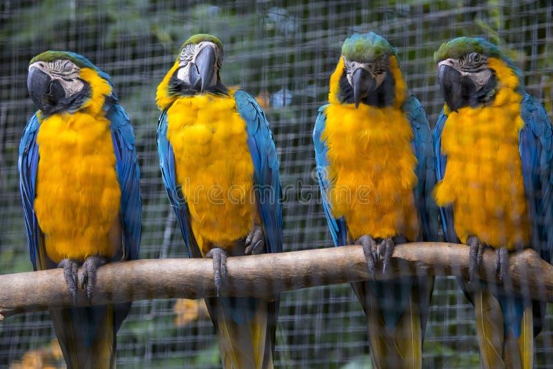 Perroquets d'ara photographie stock