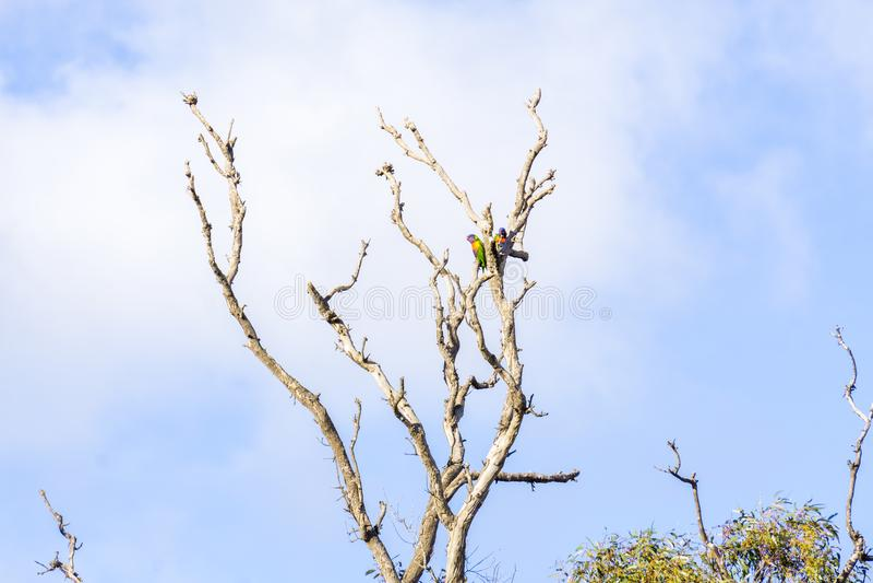 Perroquets dans un arbre traînant juste photographie stock libre de droits