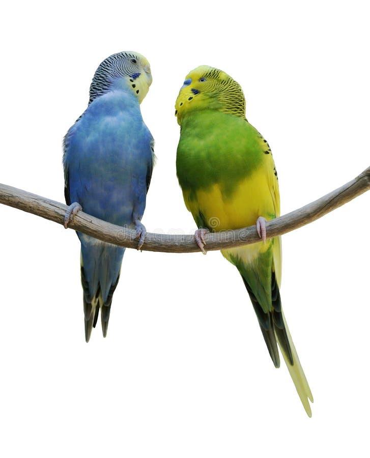 Perroquets de Budgerigar images stock