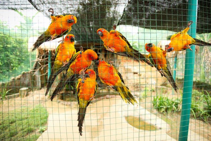 Perroquets de conure de Sun dans la volière photographie stock