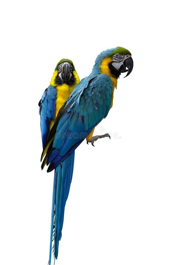 Perroquets de Macaw image libre de droits