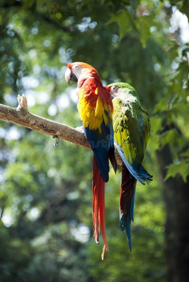 Perroquets de Macaw photographie stock libre de droits