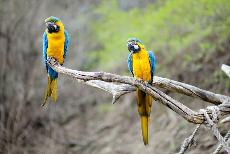 Perroquets de macaw de bleu et d'or image libre de droits