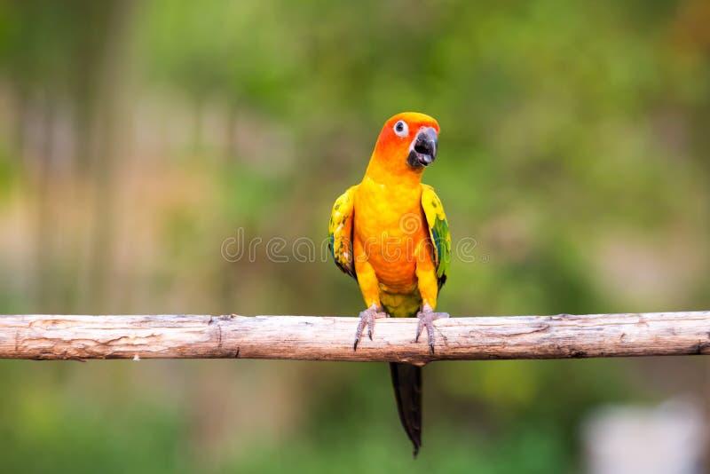 Perroquets de Sun Conure photo stock
