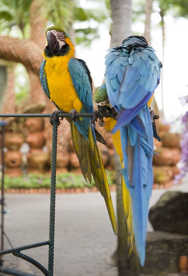 Perroquets en parc de Madame Nong Nooch image libre de droits
