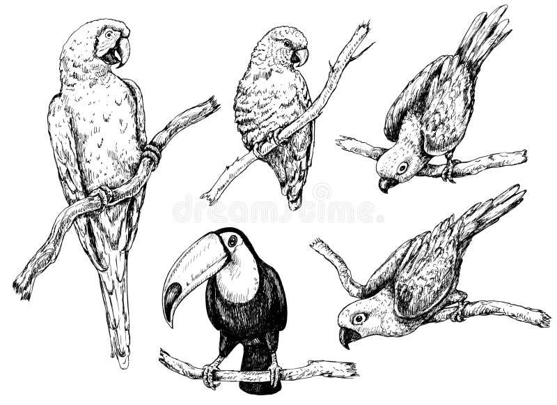 Perroquets et croquis de toucan illustration libre de droits