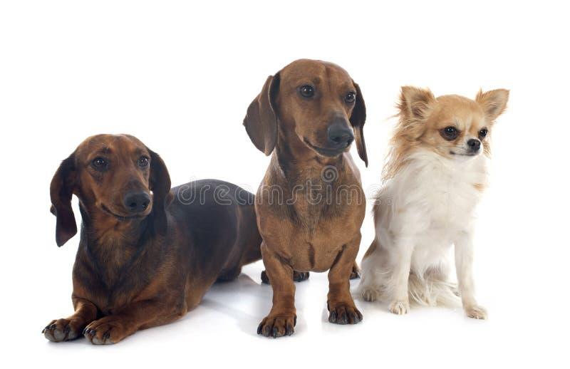 Perros basset y chihuahua imagen de archivo