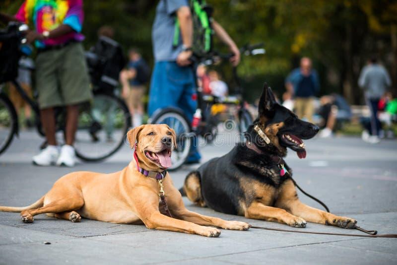 Perros bien entrenados que obedecen a su instructor que pidió no al MES imagenes de archivo