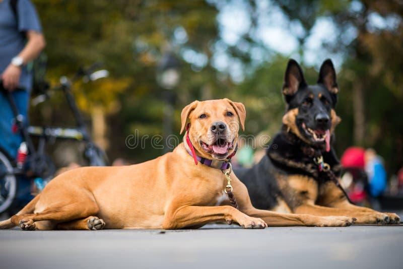 Perros bien entrenados que obedecen a su instructor que pidió no al MES imagen de archivo