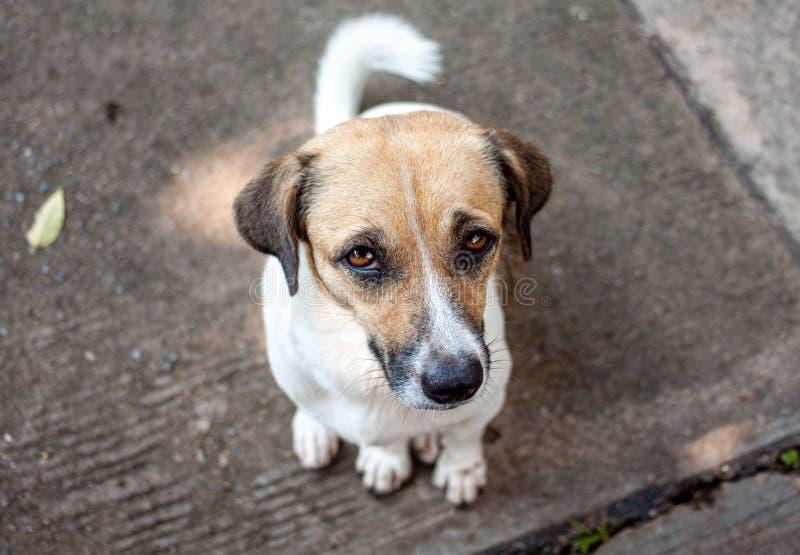 Perros blancos y marrones sentados en el suelo Mirando hacia arriba con los ojos suplicantes foto de archivo libre de regalías