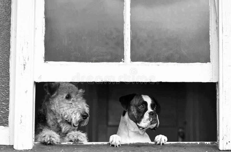 Perros caseros el esperar, mirando con la ansiedad de separación la vuelta del dueño foto de archivo libre de regalías