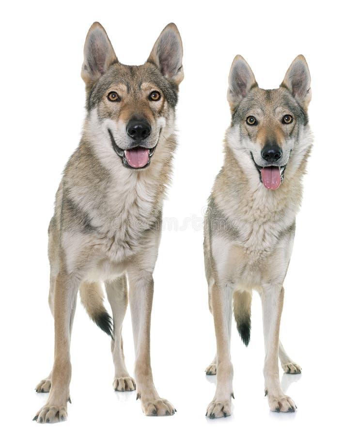 Perros checoslovacos del lobo imagen de archivo libre de regalías