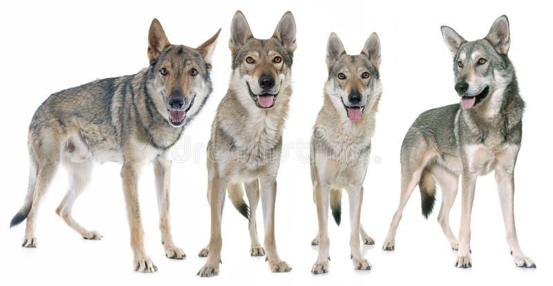 Perros checoslovacos del lobo fotos de archivo