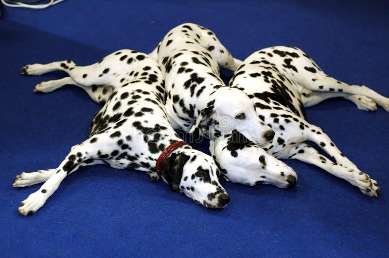 Perros de Dalmation fotografía de archivo libre de regalías