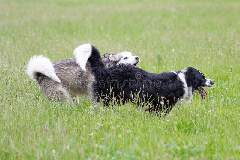 Perros de funcionamiento Exited en los campos foto de archivo libre de regalías
