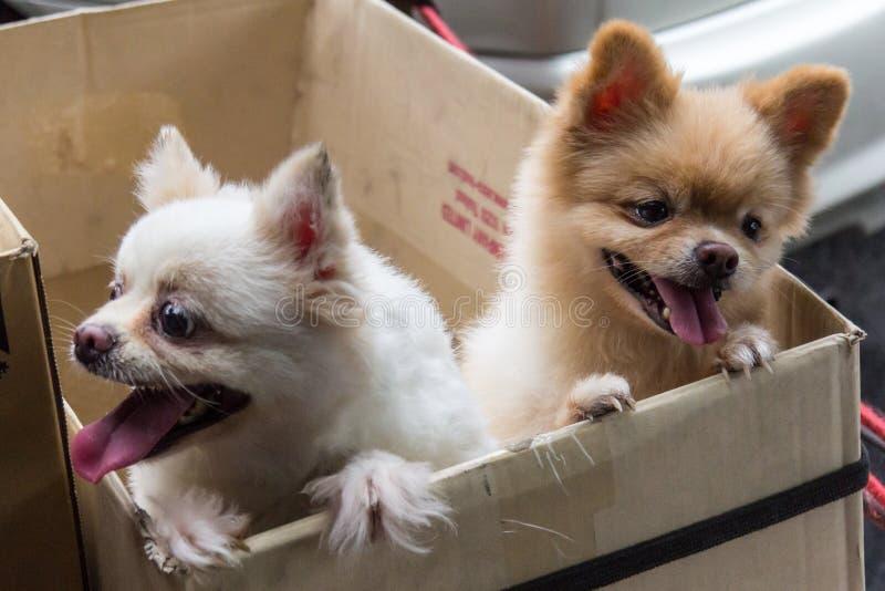 Perros de la chihuahua fotografía de archivo libre de regalías