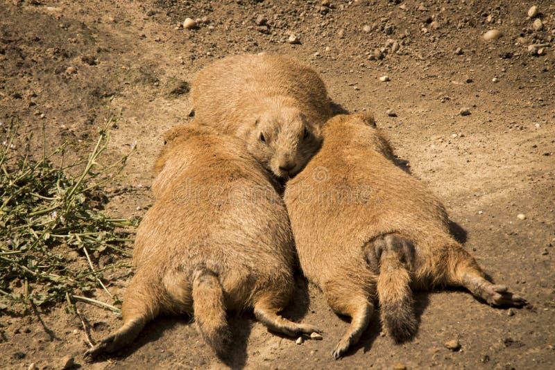 Perros de las praderas perezosos fotos de archivo libres de regalías