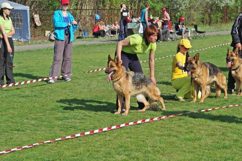 Perros de pastor alemán y sus dueños en la exposición del perro en Volzhsky foto de archivo libre de regalías