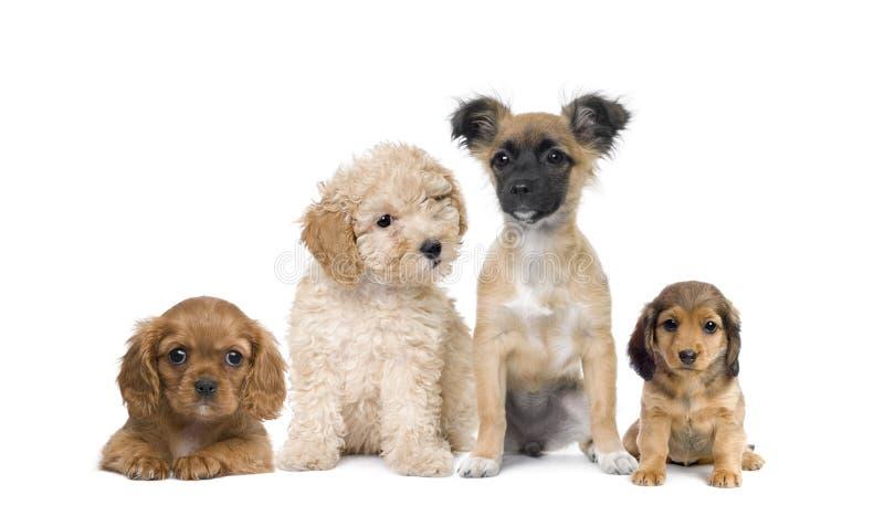 Perros de perrito delante del fondo blanco imagenes de archivo