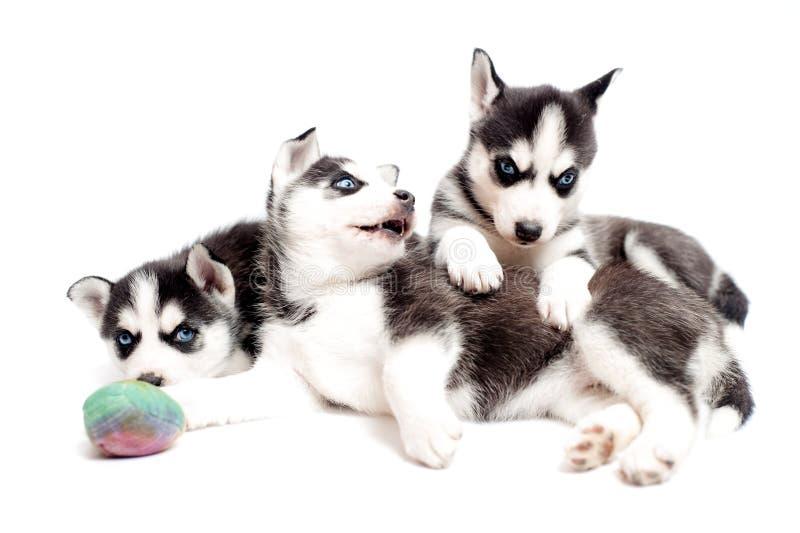 Perros de perrito juguetones fotografía de archivo libre de regalías