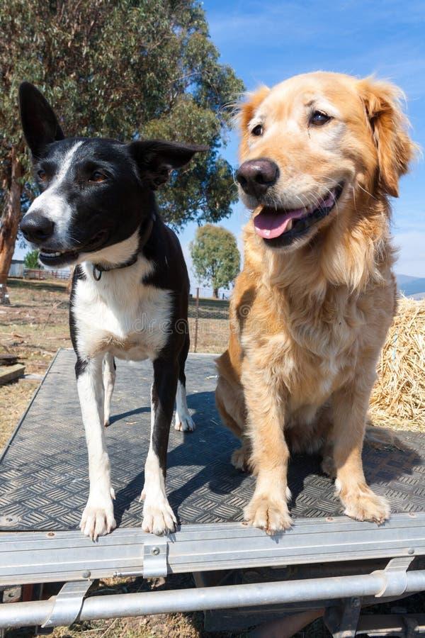 Perros de trabajo de la granja en un ute imagen de archivo