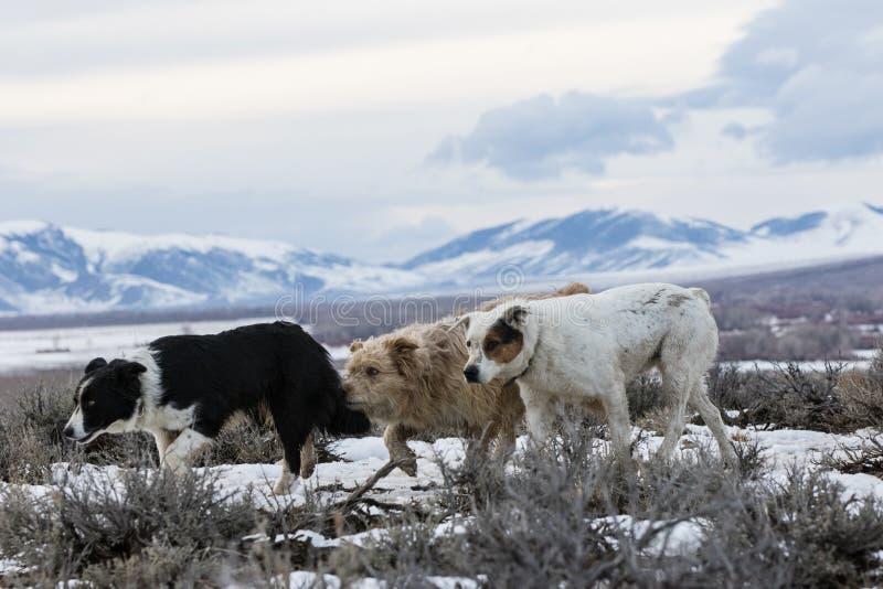 Perros de trabajo en rancho en montañas fotos de archivo libres de regalías