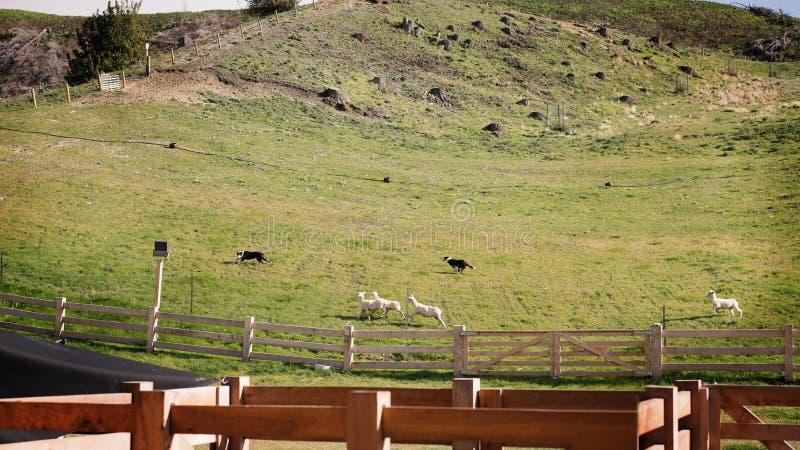Perros de trabajo que reúnen ovejas en Nueva Zelanda imágenes de archivo libres de regalías
