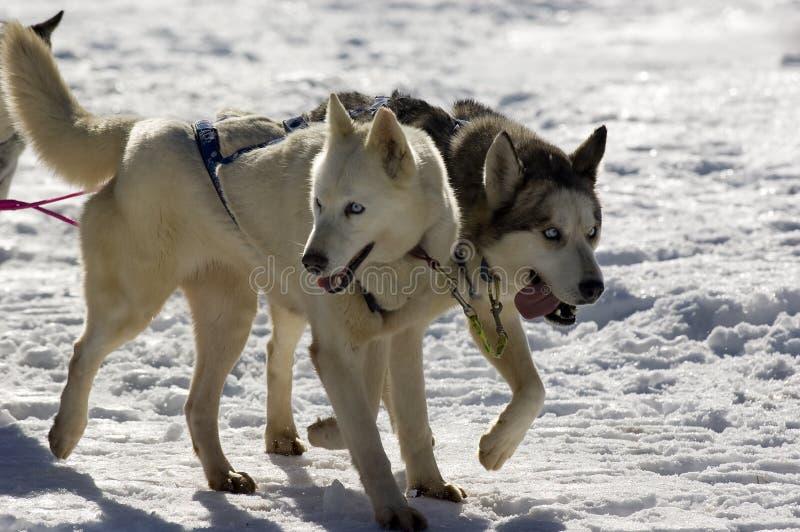 Perros de trineo imagenes de archivo