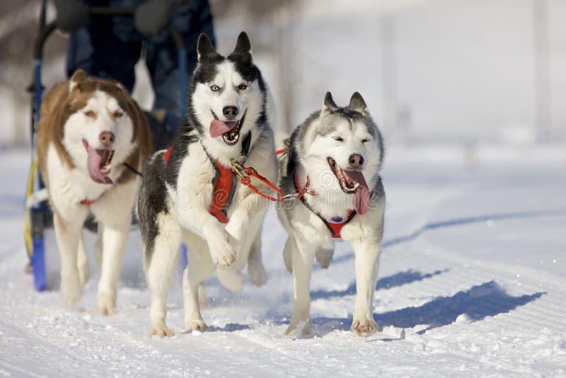 Perros de trineo foto de archivo libre de regalías