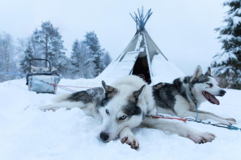 Perros de trineo cansados después de tirar un trineo para los kilómetros imágenes de archivo libres de regalías