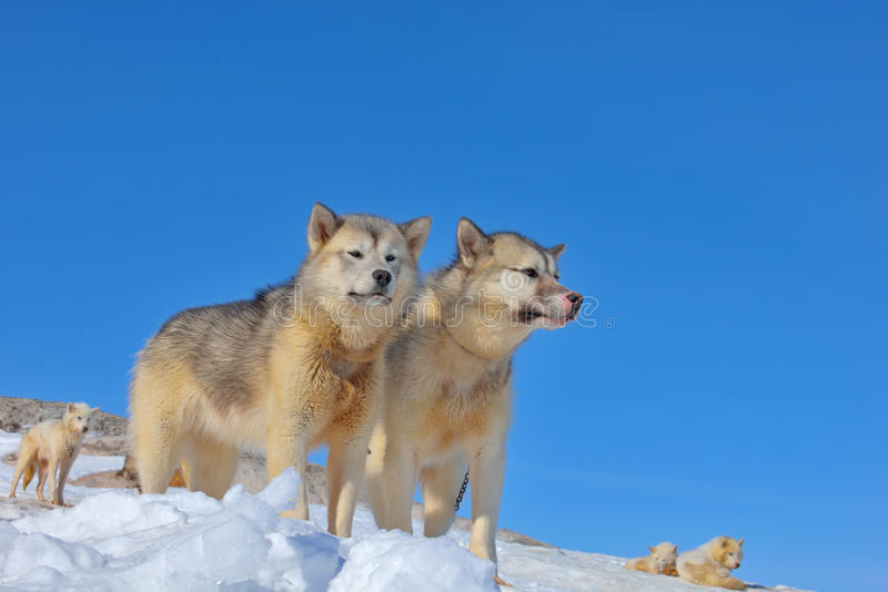 Perros de trineo de Groenlandia que se relajan fotos de archivo libres de regalías