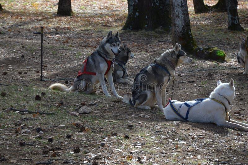 Perros de trineo en el bosque foto de archivo libre de regalías