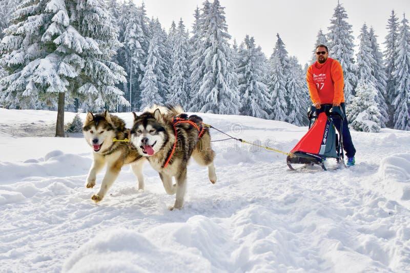 Perros de trineo en la competencia que corre en tierra congelada foto de archivo