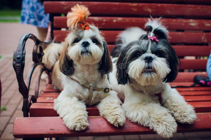 Perros decorativos de la raza Pequeño perro nacional perro debajo de las pieles de la cama Perro japonés del hin imágenes de archivo libres de regalías
