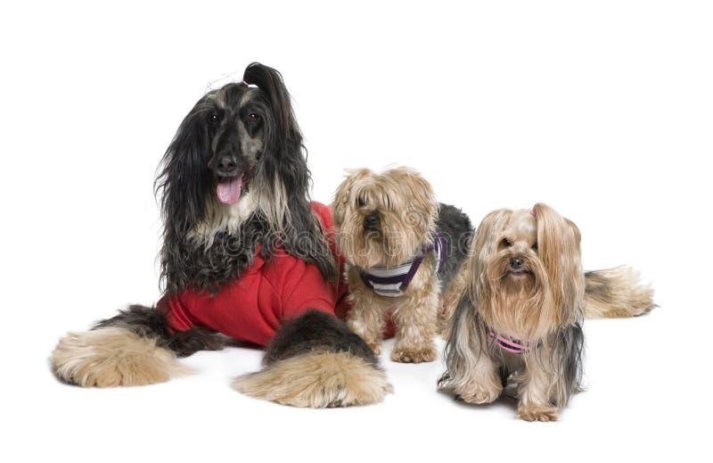 Perros del afgano y de Yorkshire imagenes de archivo