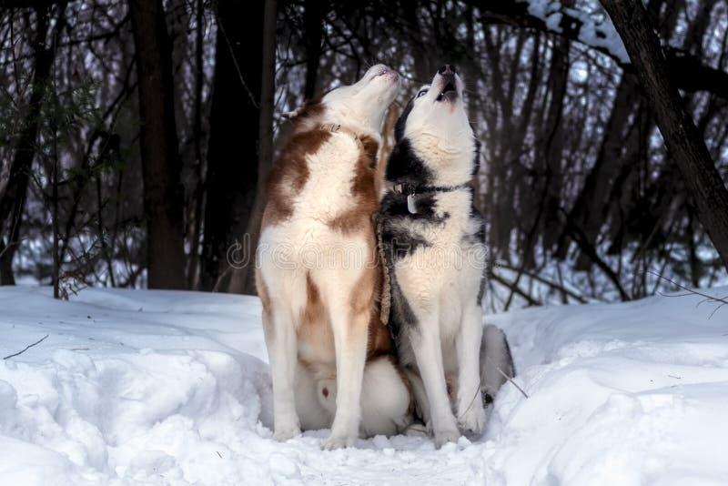 Perros del aullido Perros del husky siberiano en bosque soleado del invierno imagenes de archivo