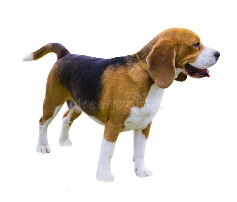 Perros del beagle, retrato Beagle del perro Perro del beagle aislado en blanco foto de archivo libre de regalías
