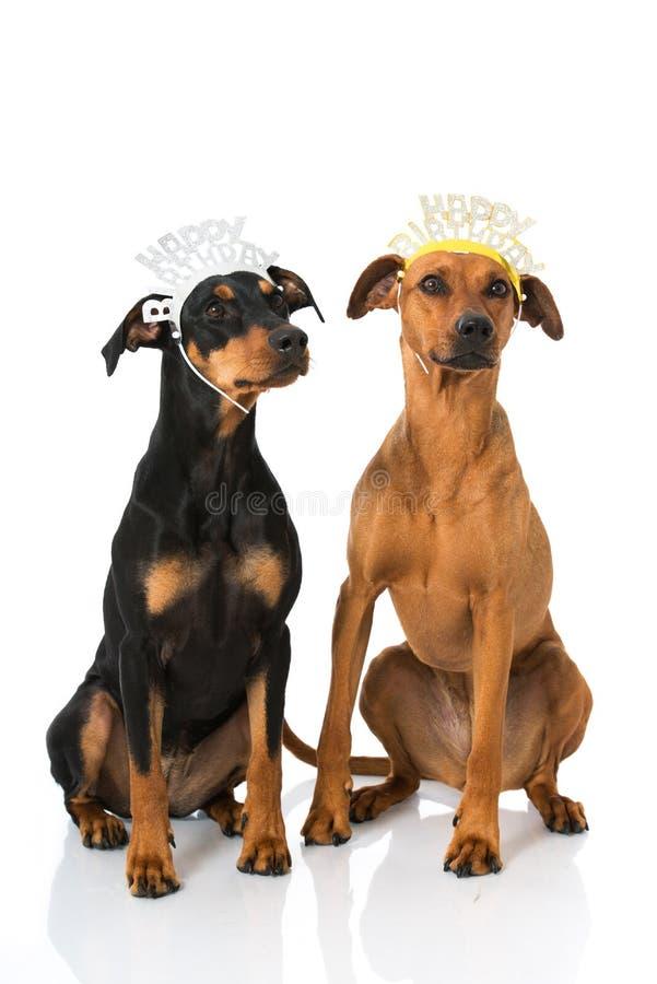 Perros del cumpleaños foto de archivo libre de regalías