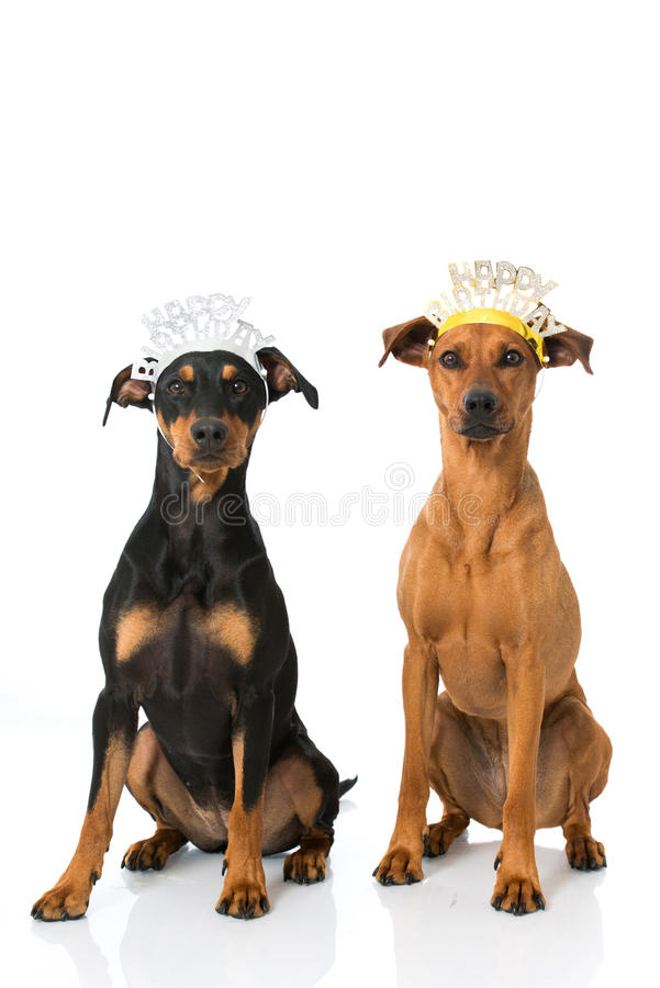 Perros del cumpleaños imagen de archivo