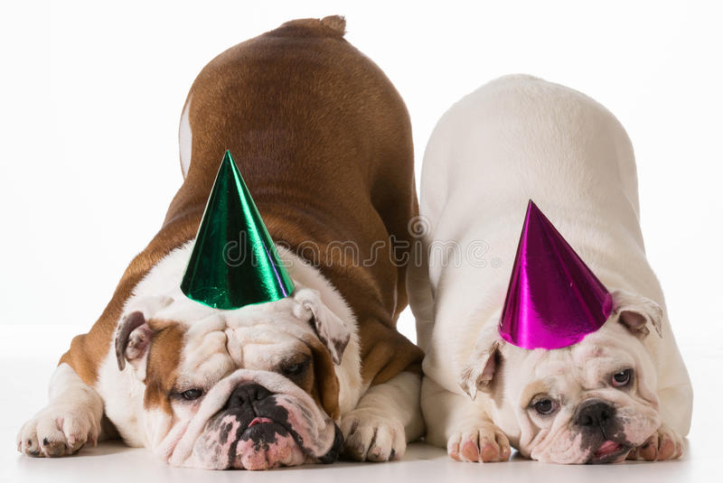 Perros del cumpleaños imágenes de archivo libres de regalías