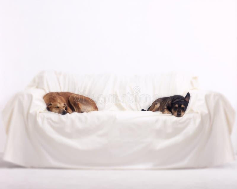 Perros del galgo y del terrier que duermen en el sofá en el fondo blanco imagenes de archivo