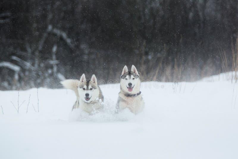 Perros del husky siberiano en fondo del invierno Dos perros fornidos que sorprenden que se colocan en la nieve imagenes de archivo